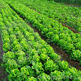vegetable field square